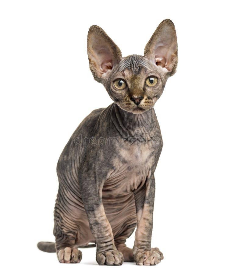 Assento do gatinho de Sphynx imagem de stock