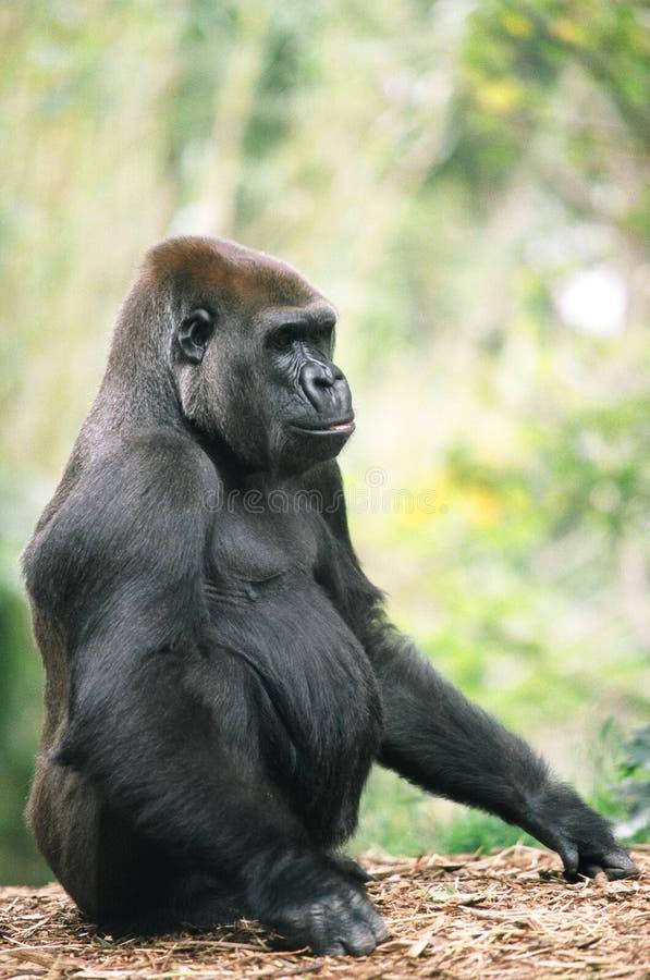 Assento do gorila fotografia de stock