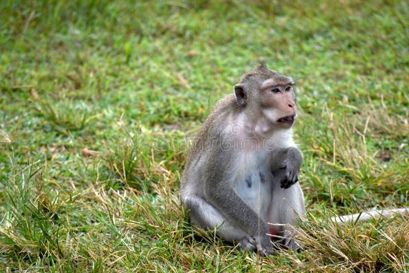 Assento do macaco na grama em Tailândia imagens de stock