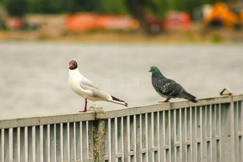 assento do pombo com gaivota de cabeça negra fotos de stock