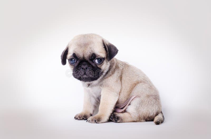 Assento do pug do cachorrinho da jovem corça imagem de stock royalty free
