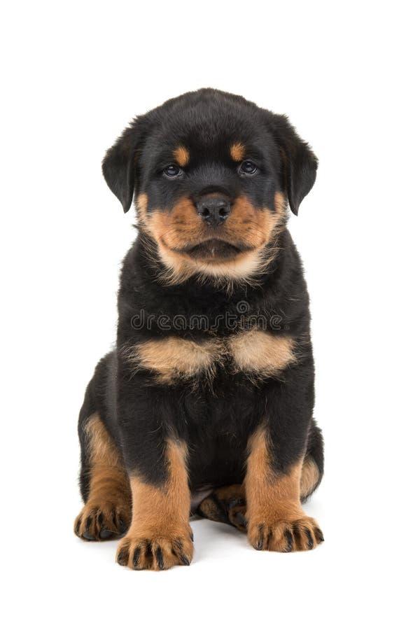 Assento doce do cachorrinho do rottweiler imagens de stock royalty free
