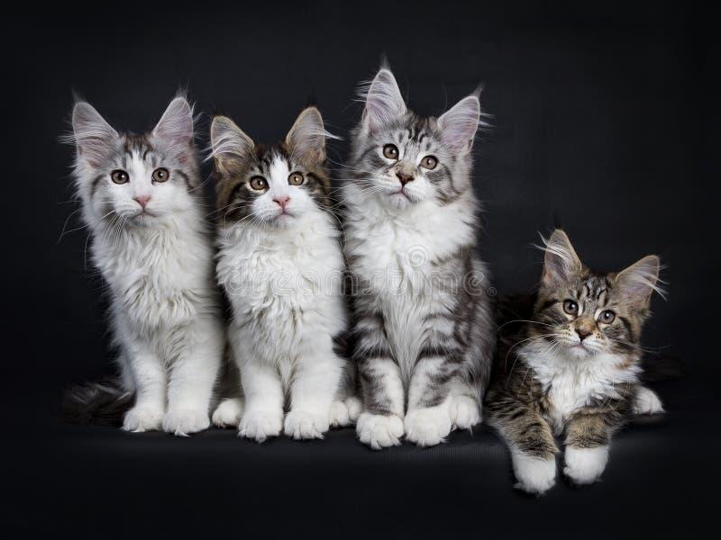 Assento dos gatinhos do gato de Maine Coon fotografia de stock royalty free