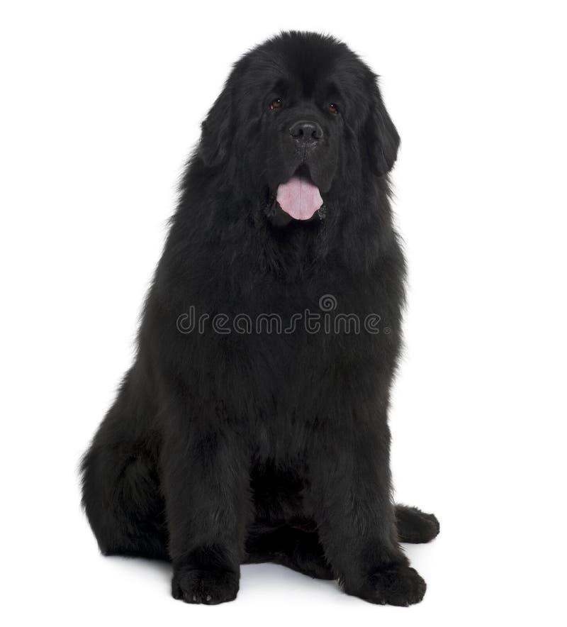 Assento e ânsia pretos do cão de Terra Nova imagem de stock royalty free