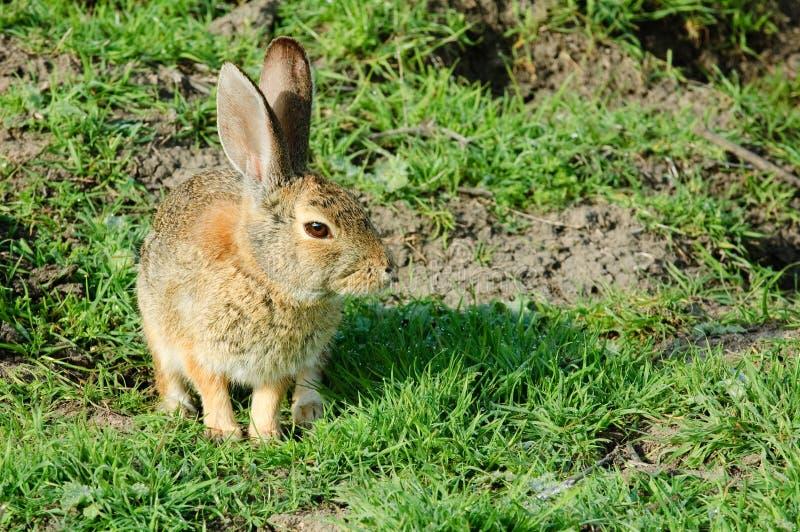 Assento e espera do coelho de coelho foto de stock