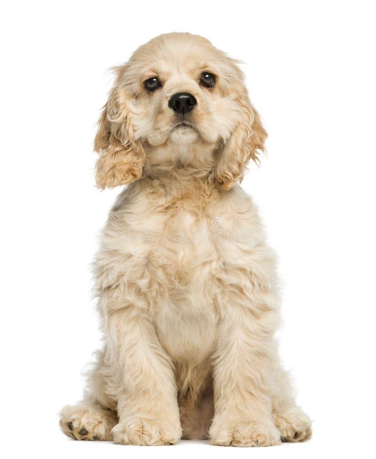 Assento e olhar fixamente do cachorrinho de cocker spaniel do americano imagem de stock