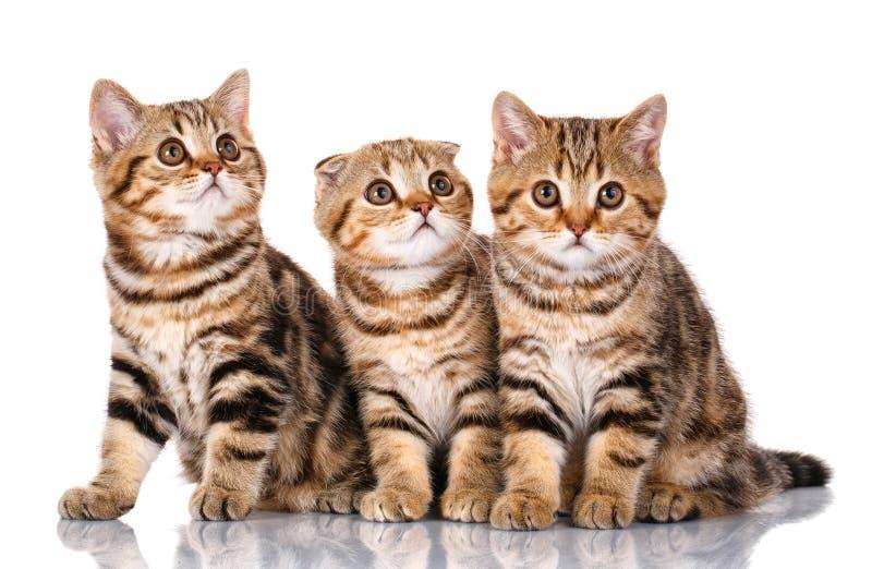 Assento escocês de três gatinhos, isolado no branco imagens de stock royalty free