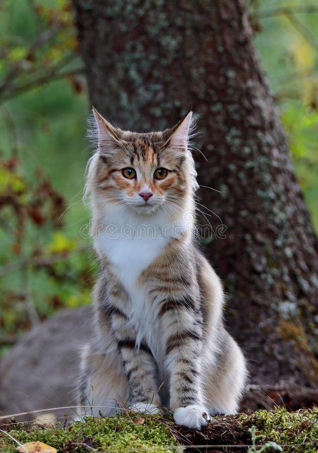 Assento fêmea do gato norueguês novo da floresta na floresta imagem de stock royalty free