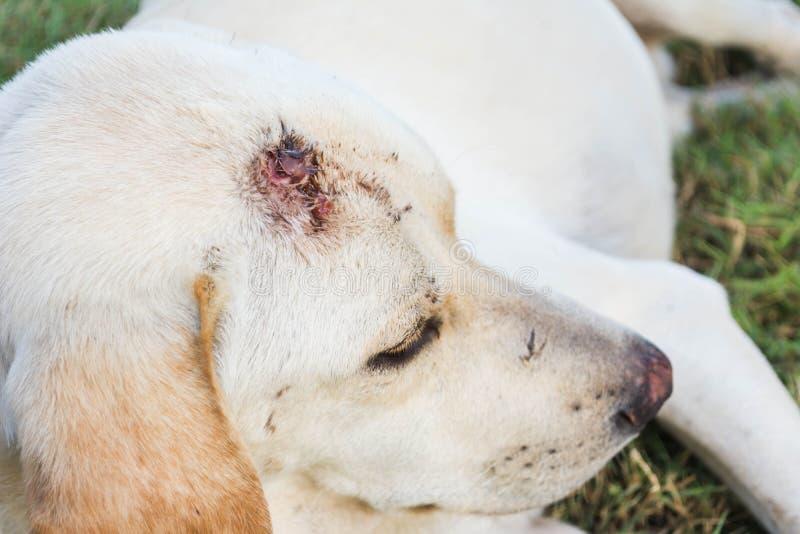 Assento ferido do cão fotos de stock