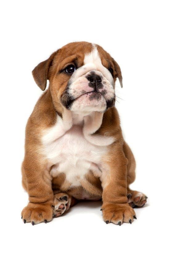 Assento inglês bonito do cachorrinho do buldogue, isolado no fundo branco fotos de stock royalty free