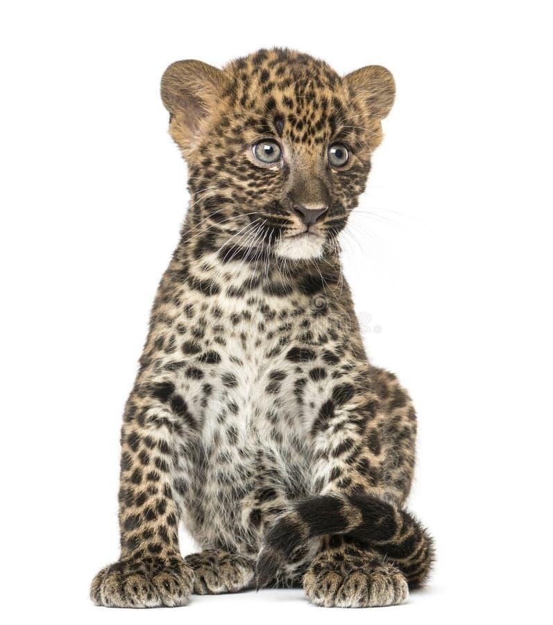 Assento manchado do filhote do leopardo - pardus do Panthera, 7 semanas velho imagem de stock royalty free