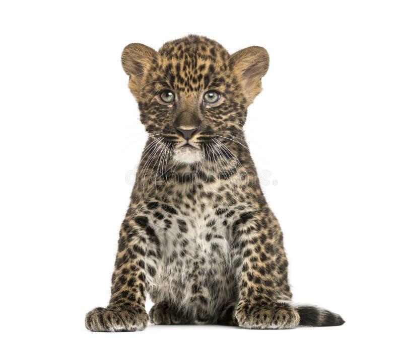 Assento manchado do filhote do leopardo - pardus do Panthera, 7 semanas velho fotos de stock royalty free