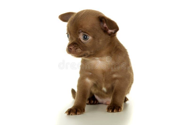 Assento marrom pequeno bonito do cachorrinho da chihuahua imagem de stock royalty free