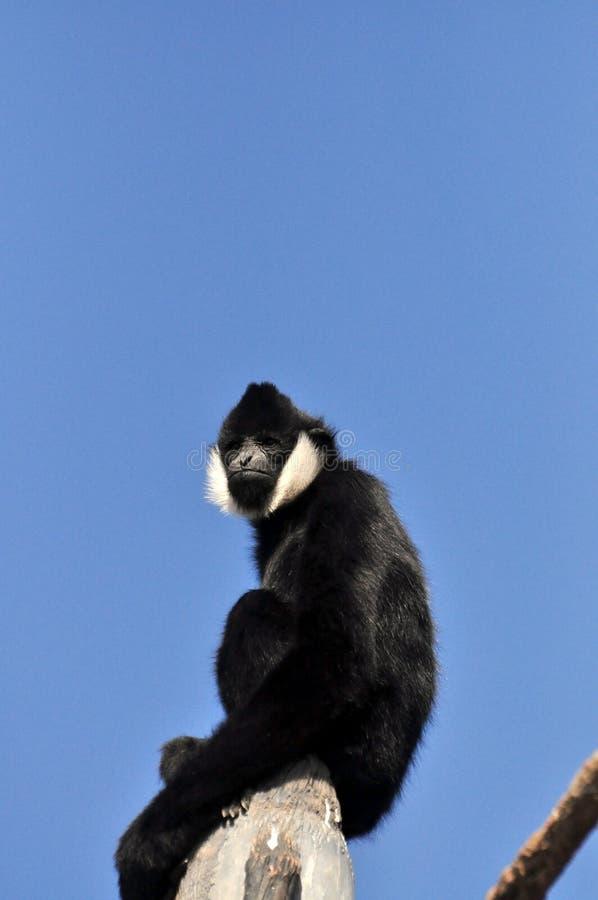 Assento masculino de Gibbon no coto de árvore imagens de stock royalty free