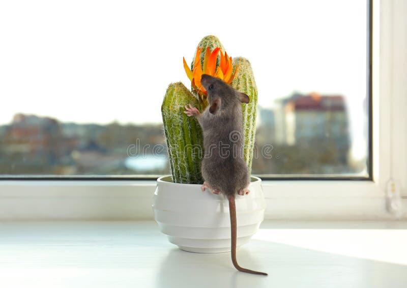 Assento pequeno bonito do rato imagens de stock royalty free