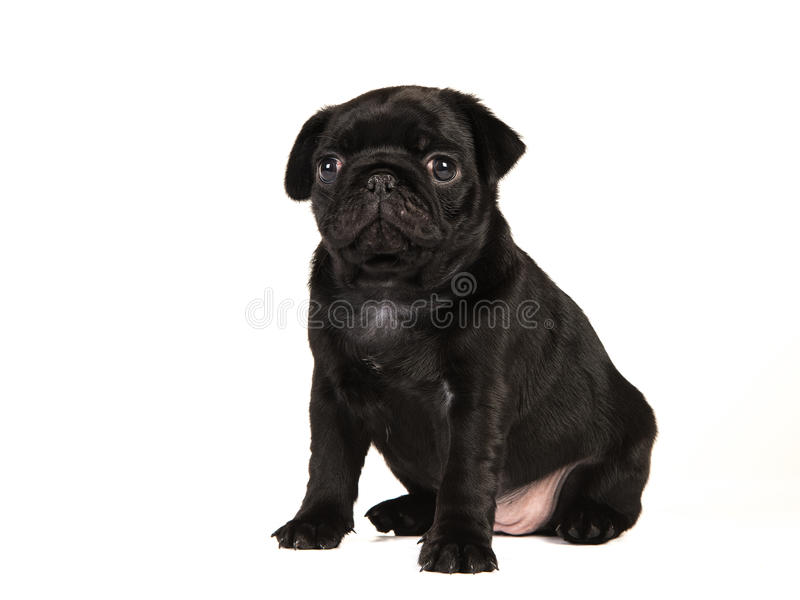 Assento preto velho bonito do cachorrinho do pug de 6 semanas isolado em um CCB branco imagens de stock royalty free