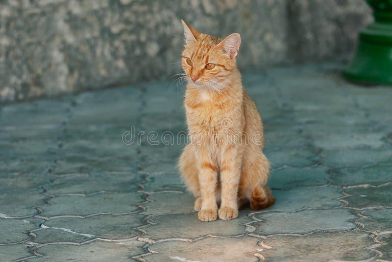 Assento ruivo disperso do gato só imagens de stock royalty free
