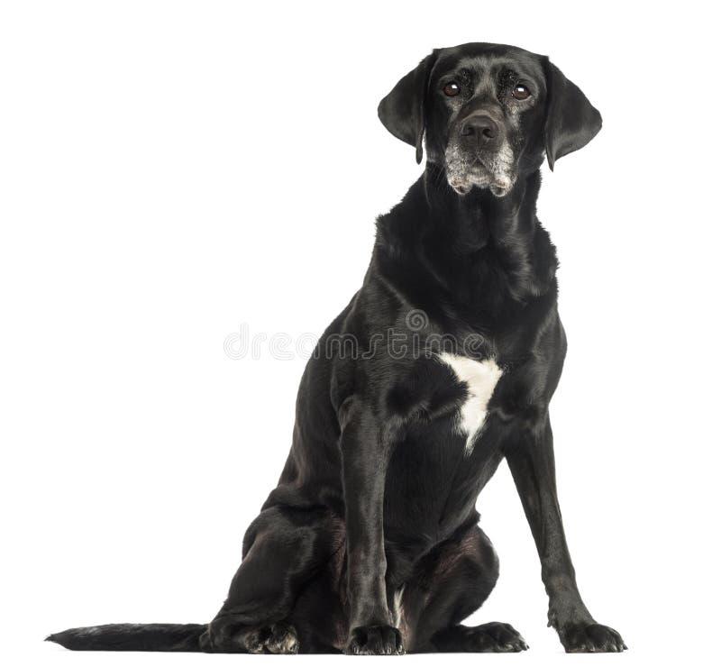 Assento velho do cão, isolado imagem de stock royalty free