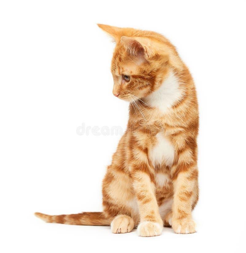 Assento vermelho do gatinho do gato malhado do gengibre novo lindo isolado contra um fundo branco que olha ao lado fotografia de stock