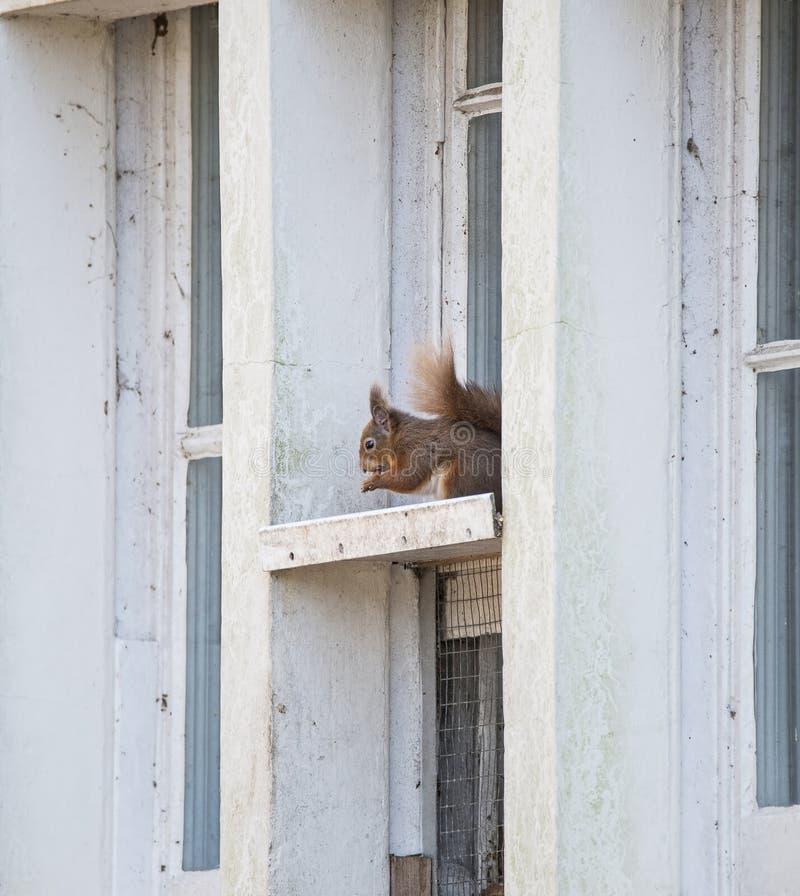 Assento vulgar do sciurus do esquilo vermelho no quadro de janela fotos de stock