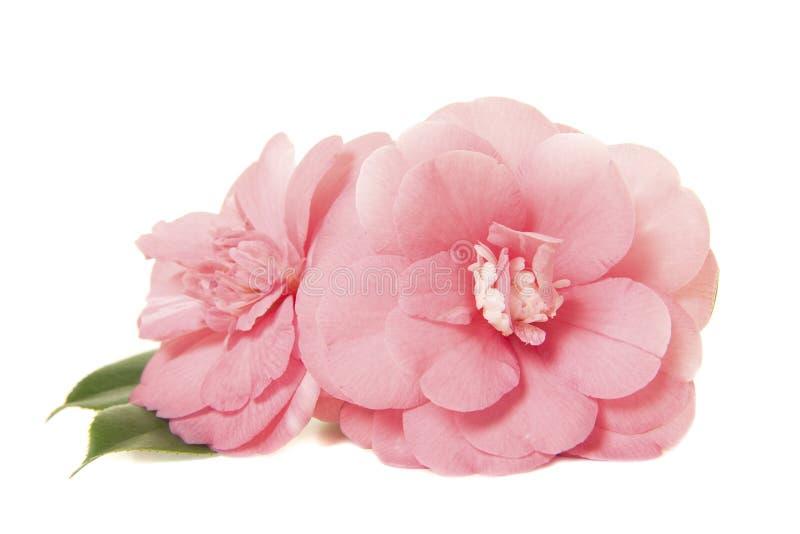 Assez deux roses roses de Japonais de camelia photographie stock