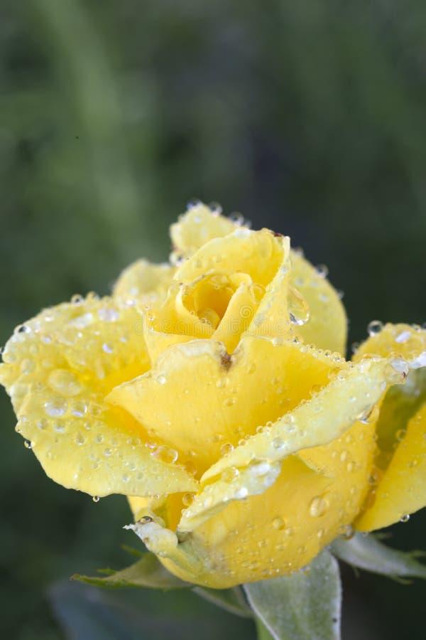 Assez rose de jaune avec des baisses de l'eau images stock