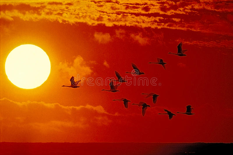 Trumpeter Swan migration. Trumpeter Swans flying into sunset over pacific ocean
