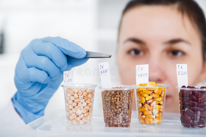Assistente de laboratório no laboratório da qualidade de alimento Ensaio da cultura celular para testar a semente genetically alt foto de stock