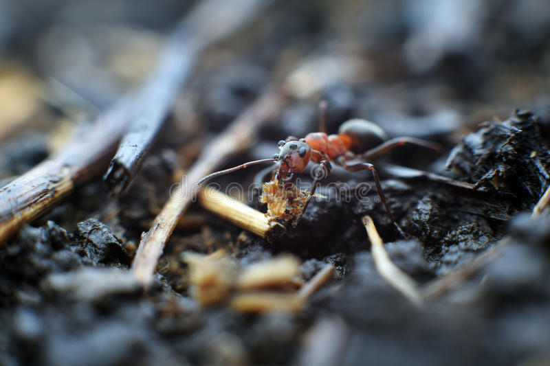 Assisting ant stock image