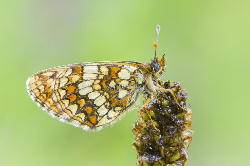 Assmann S Fritillary Stock Photo