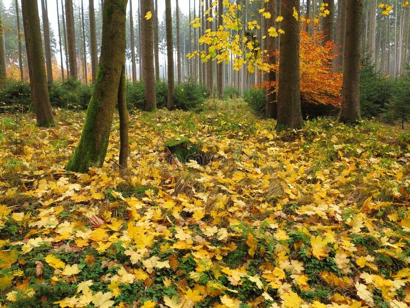 Assoalho outonal da floresta da árvore de bordo imagem de stock royalty free