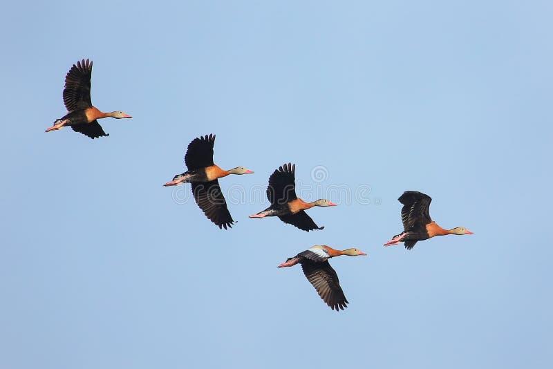 Assobiar-patos Preto-inchados que voam no céu azul imagens de stock royalty free