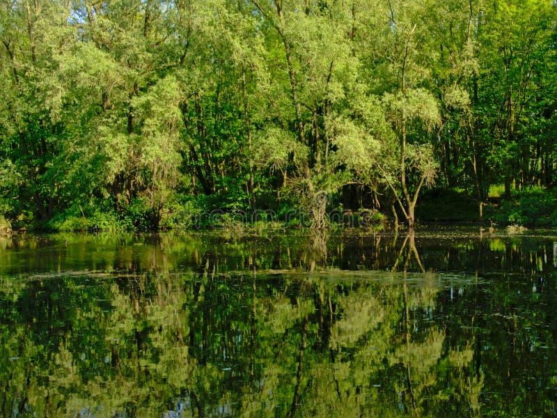 Associação em uma floresta da mola, com reflexão das árvores imagens de stock
