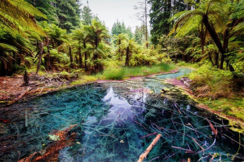 A associação Forest Rotorua New da reflexão de Whakarewarewa das sequoias vermelhas imagem de stock royalty free