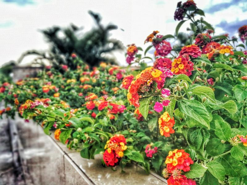Assorted-color Lantana Flowers Lined stock photos