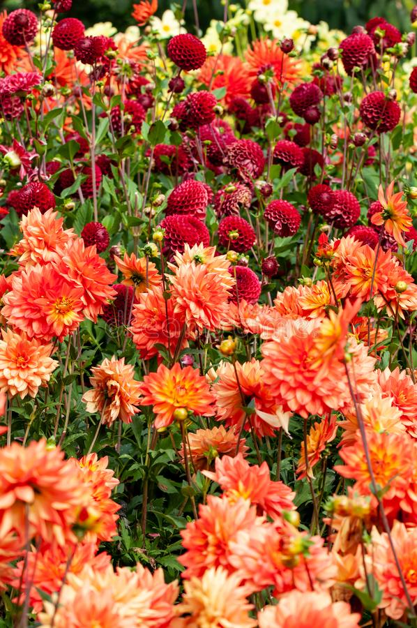 Assorted dahlias in a colorful outdoor display royalty free stock images