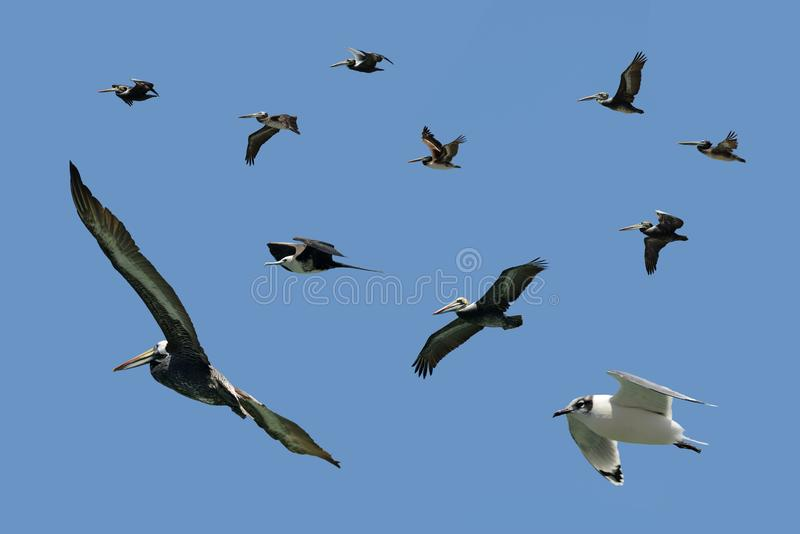 Assorted sea birds in fly stock photo