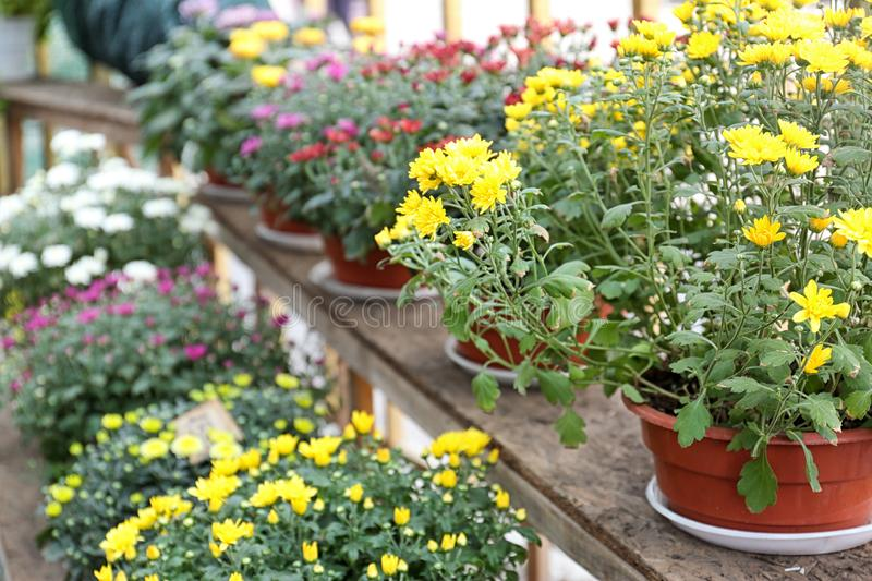 Assortment of beautiful blooming chrysanthemum flowers on shelves stock images
