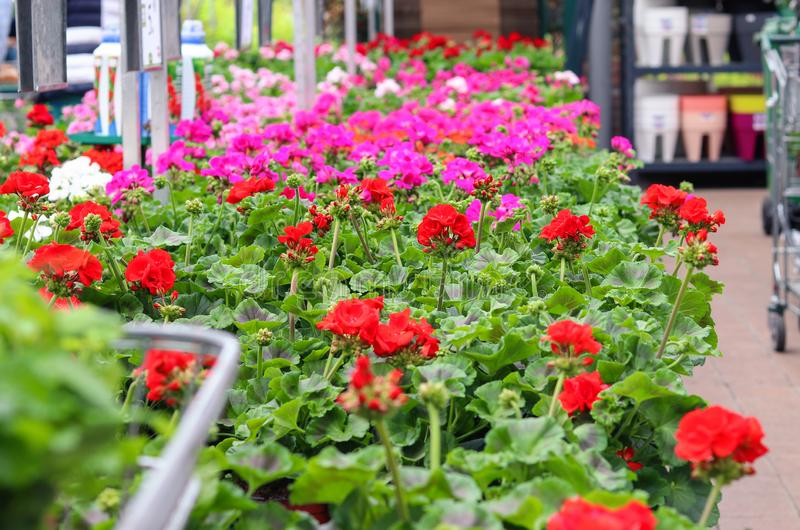Assortment of colorful red, purple and white pelargonium flowers seedlings in pots in garden shop. Spring season sale. royalty free stock photography