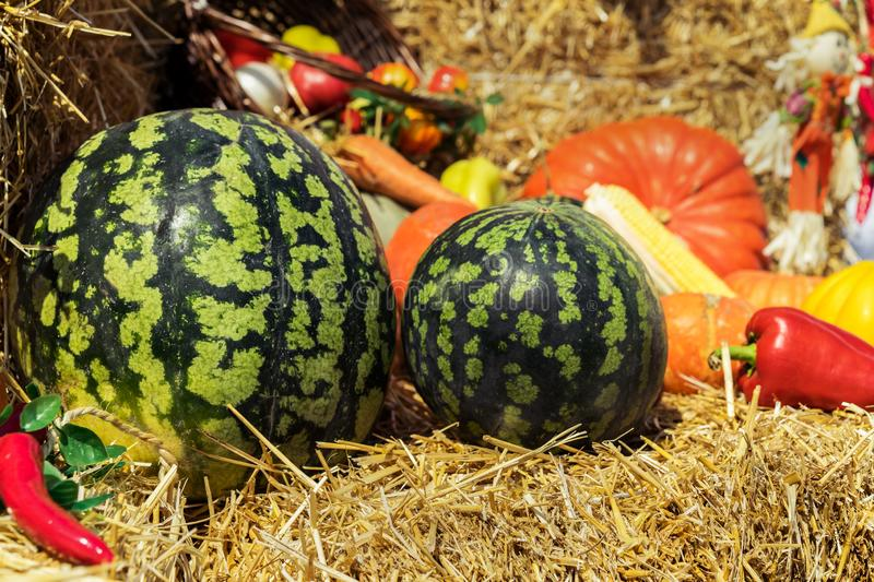 Assortment of fresh vegetables  watermelon, pumpkins and zucchini, tomato, corn, pepper on the background of straw. Autumn harve royalty free stock photos