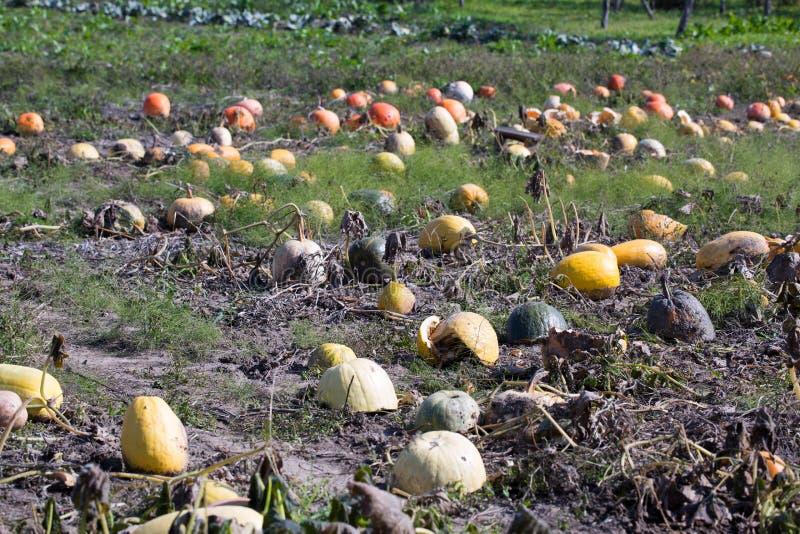 Assortment of orange pumpkins in the village kitchen vegetable g royalty free stock images