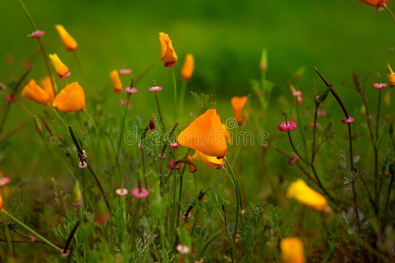 Poppy and other Wildflowers in a field royalty free stock image