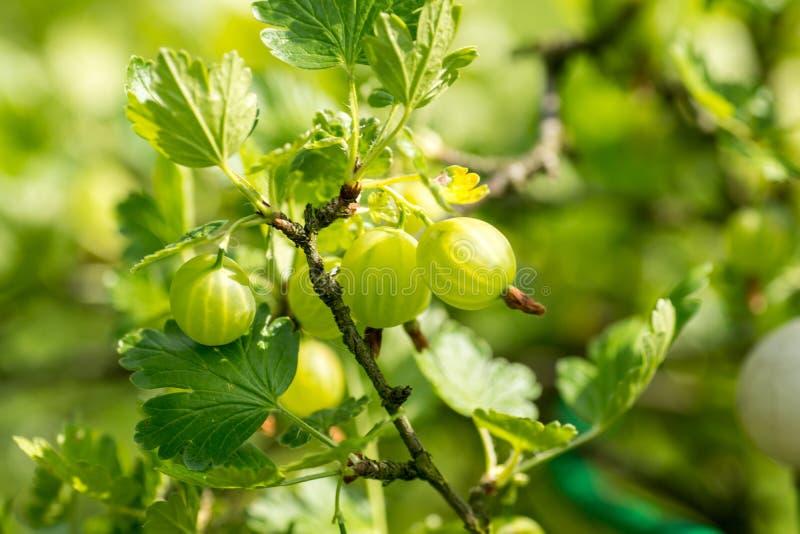 Assunto de jardinagem: groselhas verdes maduras do arbusto fotos de stock royalty free