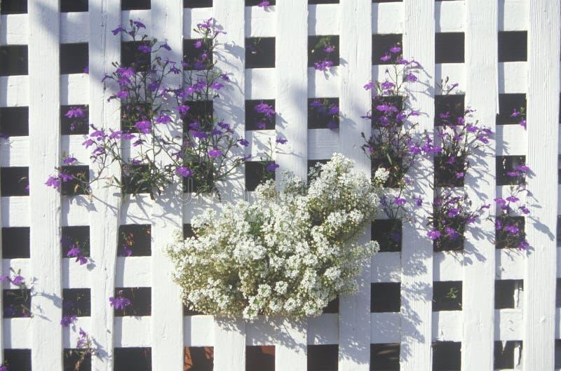 Assylium que crece a través de la cerca imagen de archivo