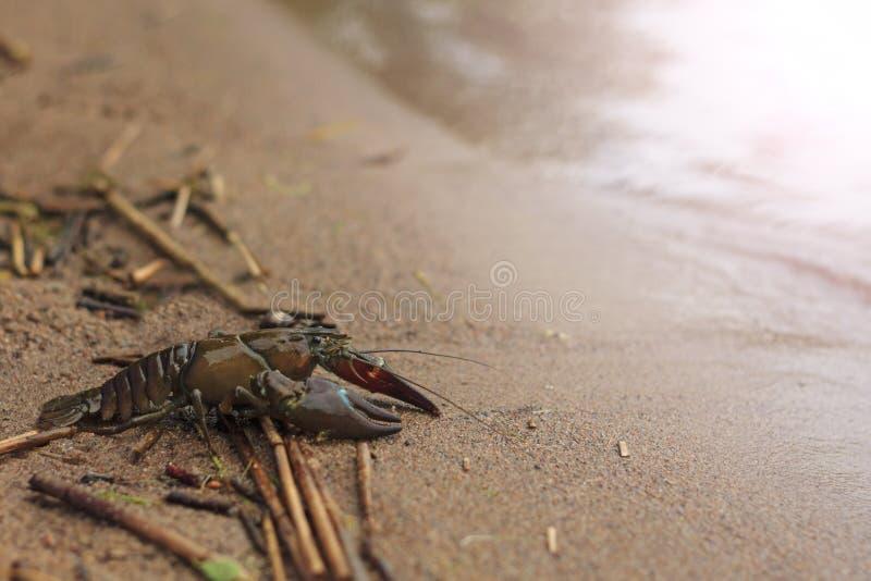 Astacus die op een zandige kust met zonnige hotspot kruipen stock foto