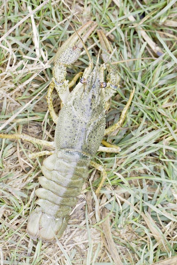 Free Astacus Leptodactylus / Narrow-clawed Crayfish Royalty Free Stock Images - 45276019