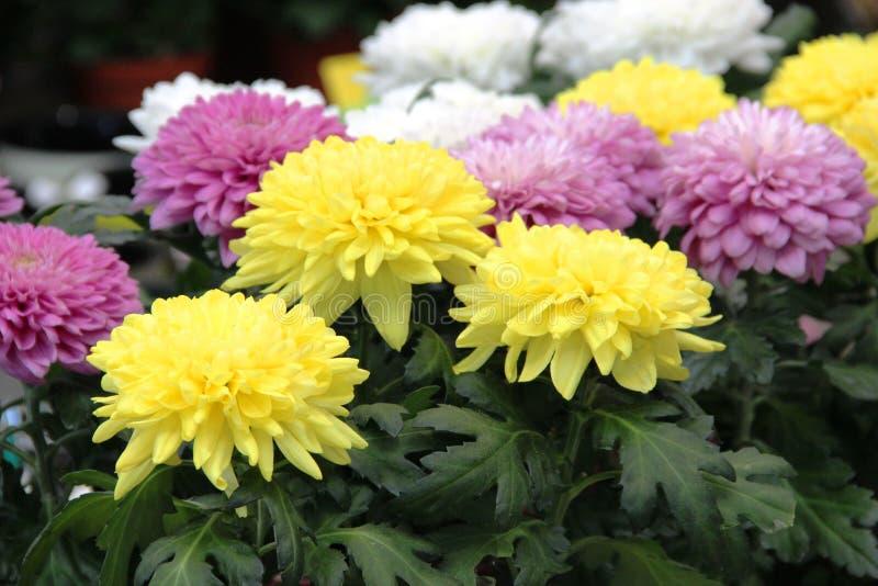 Asterów kwiaty są jaskrawym koloru żółtego, jasnoróżowego i białego kolorem, Rozmaitość wybór kwiatonośni astery w sklepie dla obrazy royalty free