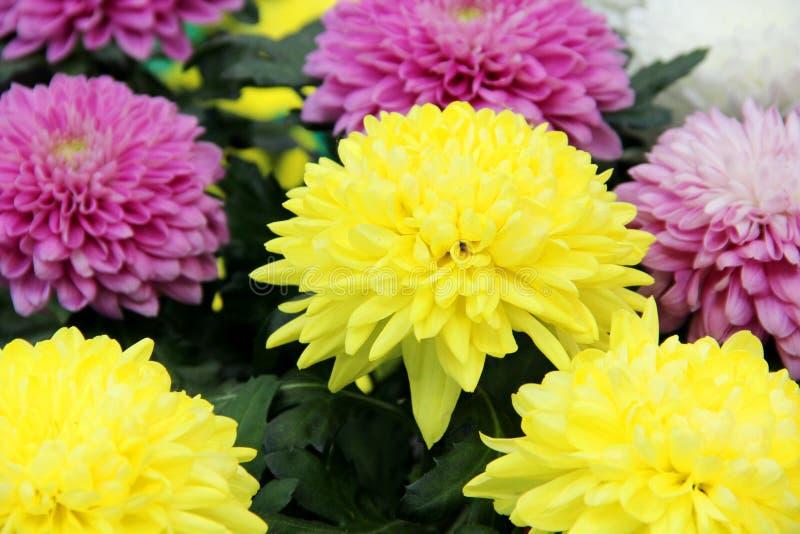 Aster är mångfärgade Ljus gult för aster, blekt - rosa och vita färger Variation av valet av att blomma aster i royaltyfri foto