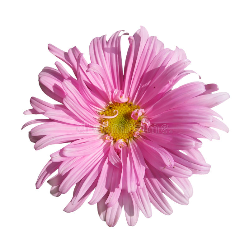 Aster photographie stock