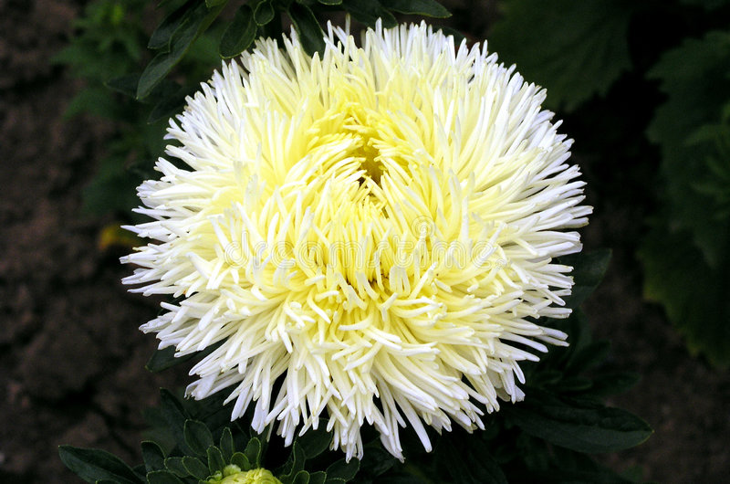 Aster 2 stock photography